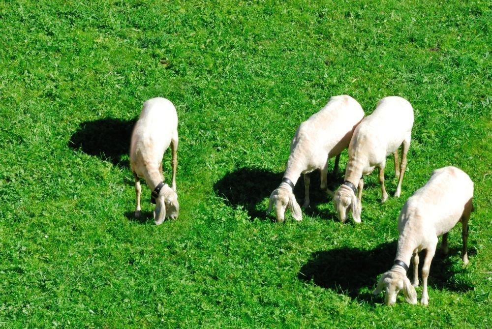 Pecore al Jagerhof